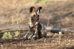 Cane da caccia africano del capo, pictus di Lycaon Fotografia Stock