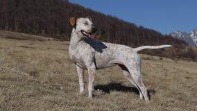 Cane da caccia in alpi video d archivio