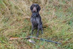 Cane da caccia Drathaar con la quaglia fotografia stock libera da diritti