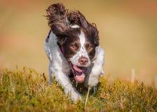 Cane da caccia funzionante Fotografia Stock Libera da Diritti