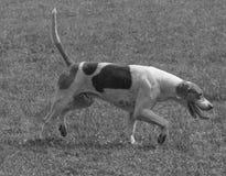 Cane da caccia inglese del puntatore di B&W Fotografia Stock Libera da Diritti