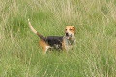 Cane da caccia inglese del puntatore nel campo Immagini Stock