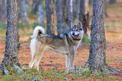 Cane da caccia nel legno Fotografie Stock Libere da Diritti