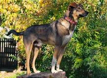 Cane da caccia nella posizione costante Fotografie Stock Libere da Diritti