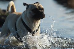 Cane da caccia in palude Immagine Stock