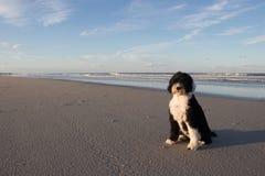 Cane da caccia in palude portoghese alla spiaggia fotografie stock