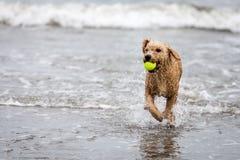 Cane da caccia in palude spagnolo con la palla in oceano immagine stock