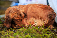 Cane da caccia per uccelli bagnato fotografie stock libere da diritti