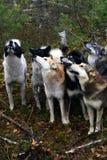 Cane da caccia siberiano Laika, Fotografia Stock