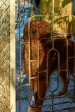 Cane da guardia di Brown Fotografia Stock Libera da Diritti