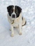 Cane da guardia di Mosca che si siede nella neve Immagini Stock
