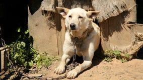 Cane da guardia incatenato che pone accanto alla fossa di scolo video d archivio