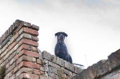 Cane da guardia nell'azione Fotografie Stock