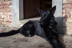 Cane da guardia nero del pastore tedesco fotografia stock libera da diritti