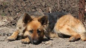 Cane da guardia su una catena stock footage