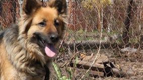 Cane da guardia su una catena archivi video