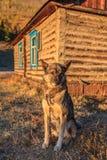 Cane da guardia sull'azienda agricola Immagini Stock Libere da Diritti