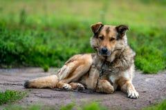 Cane da guardia sulla catena Cane a catena Immagini Stock Libere da Diritti