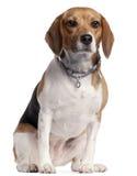 Cane da lepre, 16 mesi, sedentesi immagini stock libere da diritti