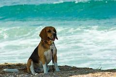 Cane da lepre 2 Fotografia Stock
