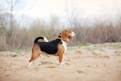 Cane da lepre alla spiaggia, Oregon Fotografia Stock