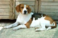 Cane da lepre, cane Immagine Stock Libera da Diritti