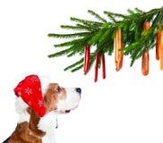 Cane da lepre in cappello di Santa isolato su bianco Immagine Stock
