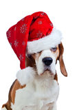 Cane da lepre in cappello di Santa isolato su bianco Fotografia Stock