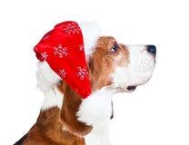 Cane da lepre in cappello di Santa isolato su bianco Fotografie Stock