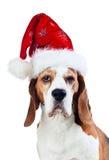 Cane da lepre in cappello di Santa isolato su bianco Immagini Stock