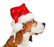 Cane da lepre in cappello di Santa isolato su bianco Immagine Stock Libera da Diritti