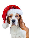 Cane da lepre in cappello di Santa isolato su bianco Fotografia Stock Libera da Diritti