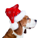 Cane da lepre in cappello rosso di Santa isolato su un fondo bianco Immagine Stock