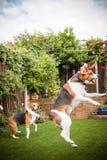 Cane da lepre che gioca con la pallina da tennis in giardino Fotografie Stock Libere da Diritti