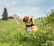 Cane da lepre che si siede nell'alta erba sul prato della montagna Immagini Stock Libere da Diritti