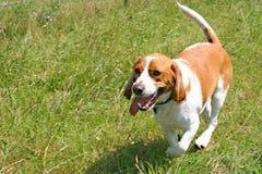 Cane da lepre corrente fotografia stock