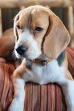 Cane da lepre del bambino sul cuscino arancio Fotografia Stock