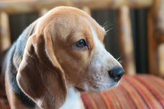 Cane da lepre del bambino sul cuscino arancio Immagine Stock Libera da Diritti