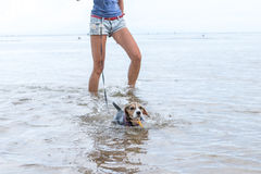 Cane da lepre del cucciolo che va nuotare per la prima volta su un'isola tropicale Bali, Indonesia immagine stock