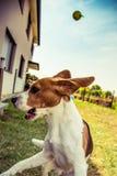Cane da lepre del seguace servile Fotografie Stock