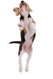 Cane da lepre di volo fotografia stock