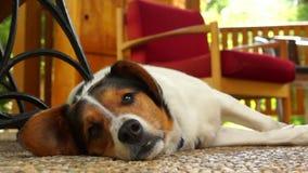 Cane da lepre molto pigro che prende un certo resto archivi video