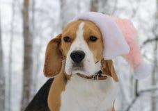 Cane da lepre nella foresta di inverno Fotografie Stock Libere da Diritti