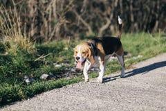 Cane da lepre in più forrest fotografia stock libera da diritti