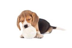 Cane da lepre piccolo di sonno Immagini Stock