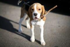 Cane da lepre su un guinzaglio fotografia stock