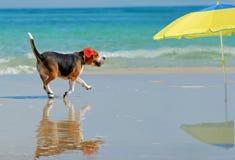 Cane da lepre sulla spiaggia immagine stock