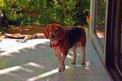 Cane da lepre sveglio Fotografie Stock