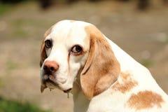 Cane da lepre triste fotografia stock