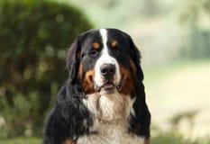 Cane da montagna di Bernese Immagini Stock Libere da Diritti